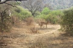 2011-08_Tanzania,_Safari176