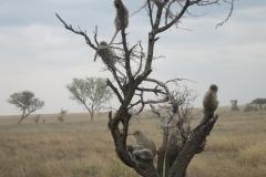 2011-08_Tanzania,_Safari421